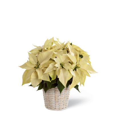 The FTD® White Poinsettia Basket (Small)