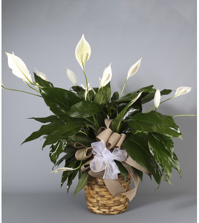 Country Arts Peace Lily
