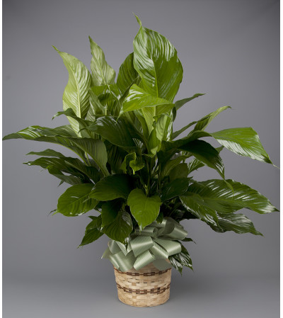Forked River Peace Lily