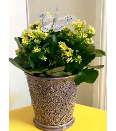Kalanchoe in Ceramic Container