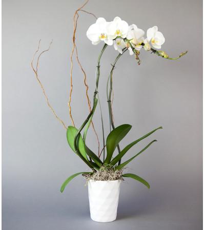 Sunnyside Gardens Decorative Orchid