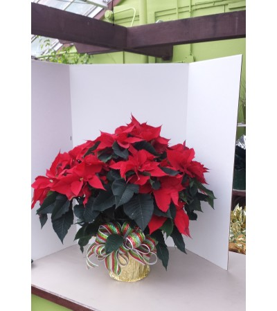 "8"" Christmas Red Poinsettia with bow"