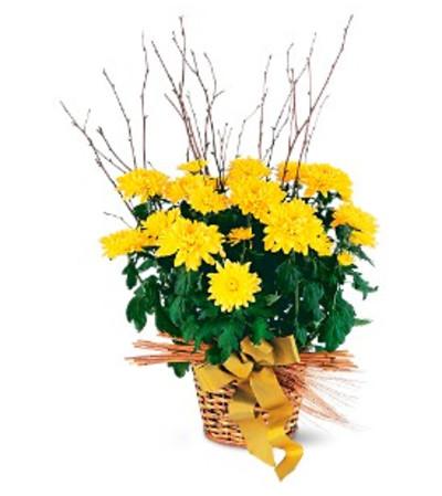 Yellow Hope Chrysanthemum