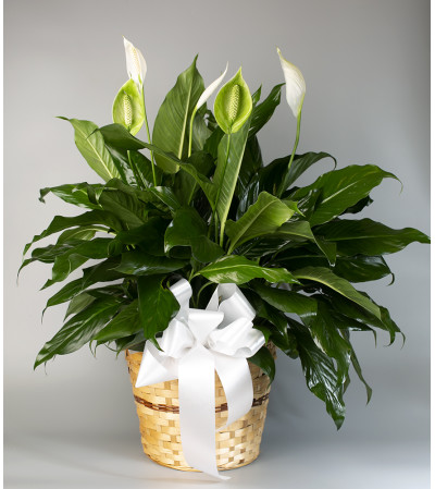 Seithel's Peace Lily in Brown Basket