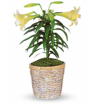 Blooming Easter Lily Plant