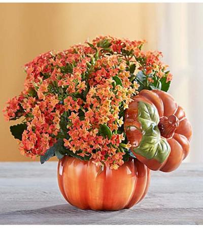 Pumpkin Patch Kalanchoe™