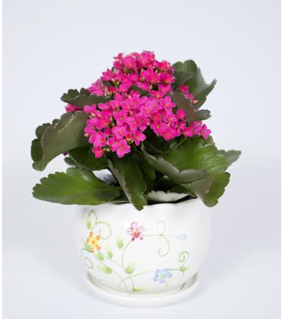 Vibrant Kalanchoe Plant