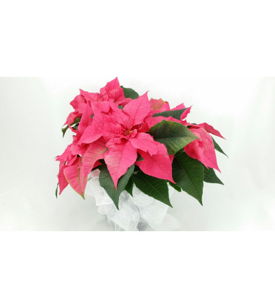 Poinsettia of the Day