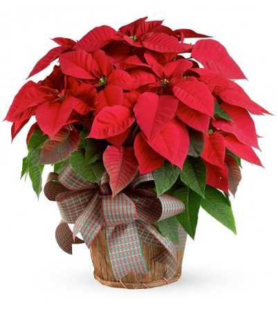 Extra Large Poinsettia with Christmas greens