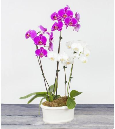 Triple Orchid Planter