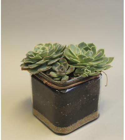 Perfect Succulent