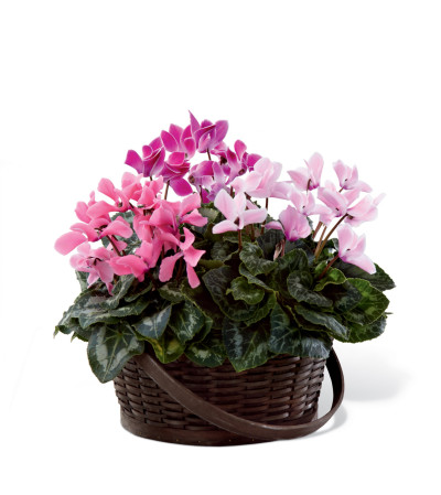 The FTD® Mixed Cyclamen Planter