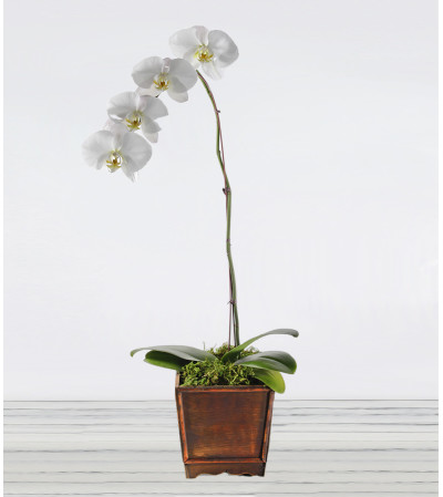 Awesome Phalaenopsis