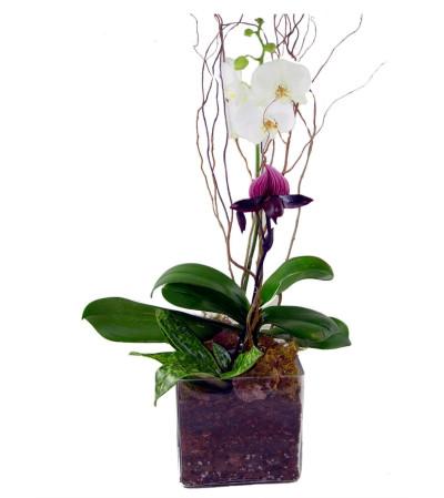 Orchid Coniseur