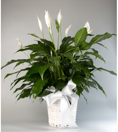 Seithel's Peace Lily in White Basket