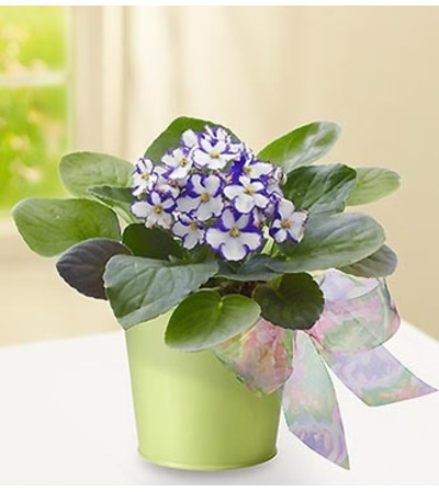 Violet in Green Planter