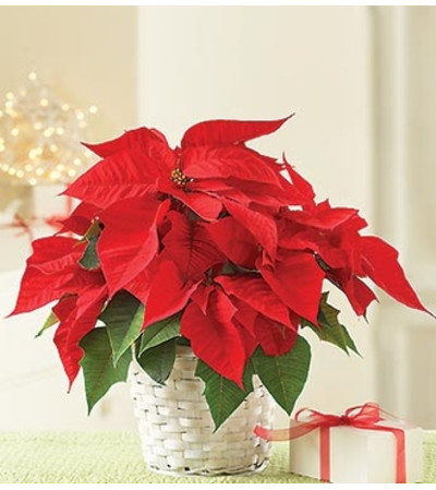 Poinsettia Plant for Sympathy