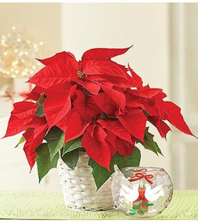 Poinsettia Plant with Votive