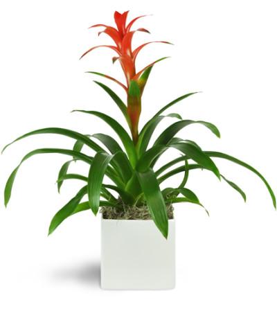 Zen Bromeliad