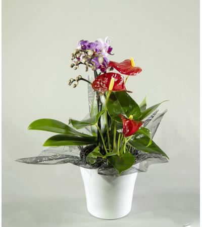 Sweet Anthurium