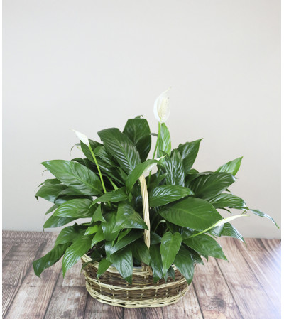The Flower Boutique Peace Lily Planter