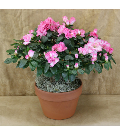 Perfectly Pink Azalea