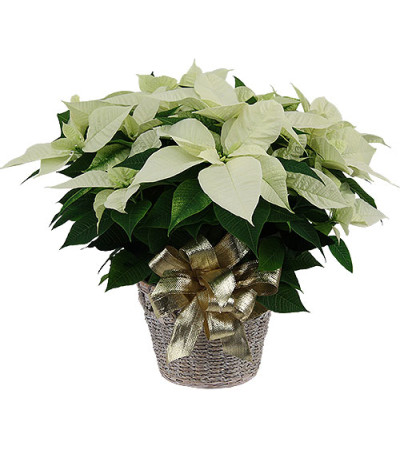 Large White Winter Poinsettia with Christmas greens