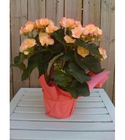 Begonia in foil