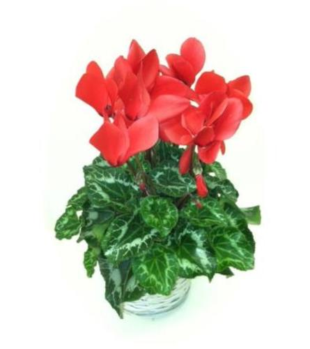 Red Cyclamen Plant