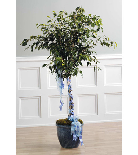 Ficus with Braided  SF32-21