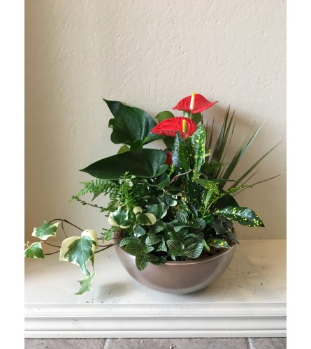 "Anthurium Garden 12"" container"