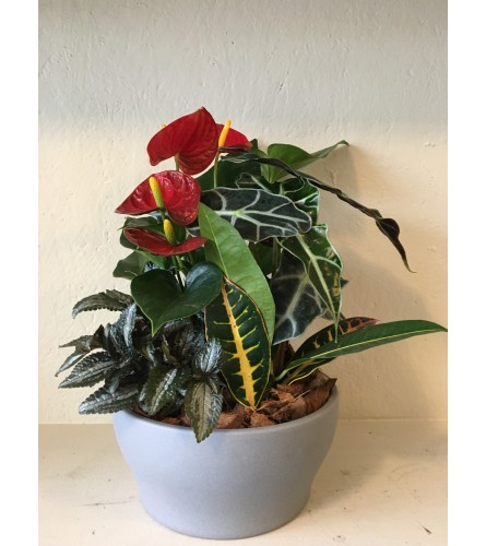 "Anthurium Garden 9"" container"