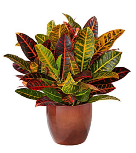 Vibrant Croton Plant