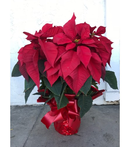 7 Plants in pot - Poinsettia