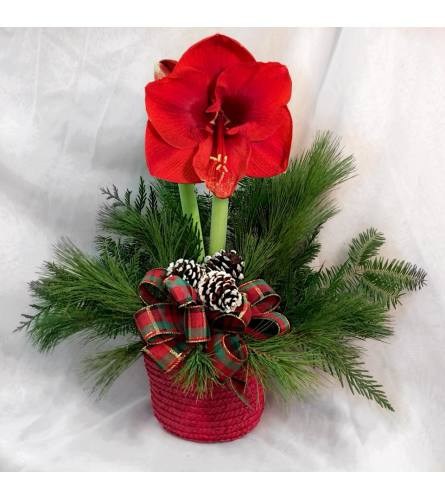 Festive Amaryllis Plant