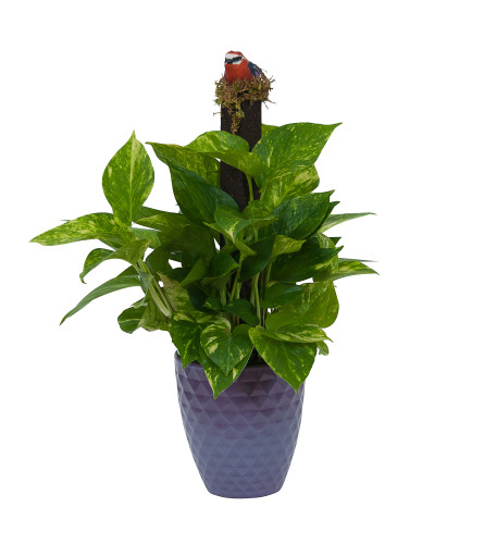 Pothos on Pole in Special Container