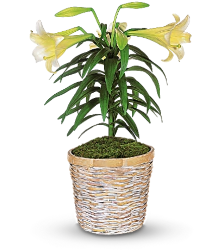Easter Lily W/ Basket