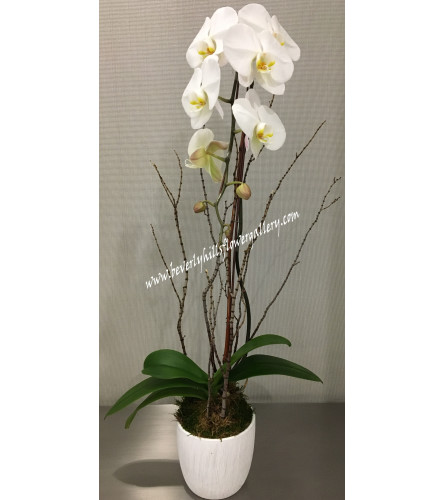 White Phalanopsis Orchid