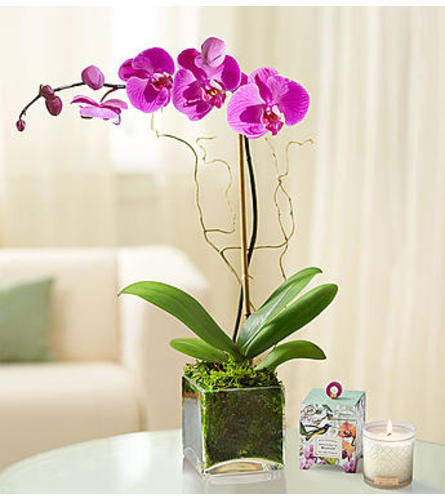 Purple Orchid Plant