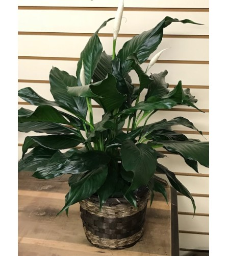 Mueller's Peace Lily in Basket