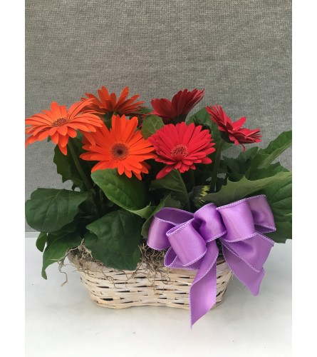 Blooming Gerber Plants Basket