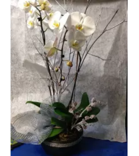 Funeral Orchid Plant