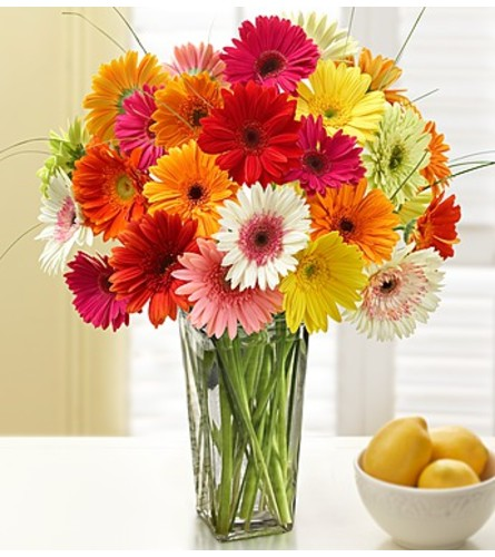 Glorious Gerberas (24)