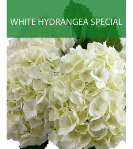 Wrapped White Hydrangea Special