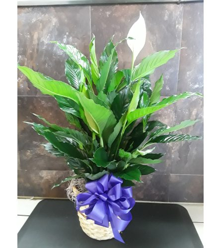 Peace Lily Spath