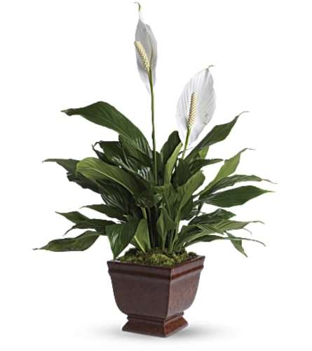 Lovely One Spath by Teleflora