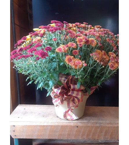 Blooming Fall Hardy Mums