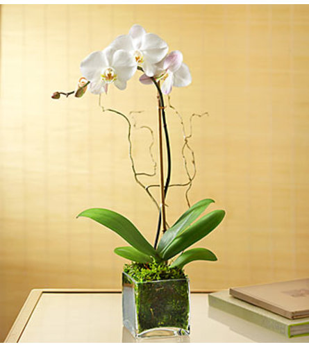 Elegant Phalaenopsis Orchid