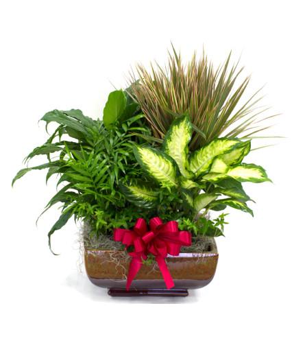 Extra Large Sympathy Dish Garden plant