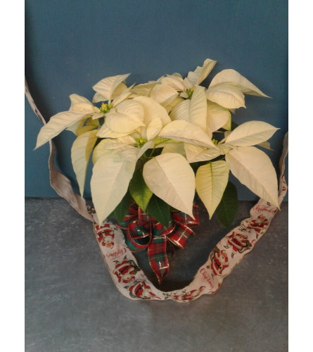 White Heaven Christmas Poinsettia